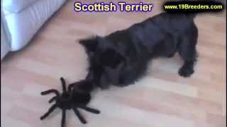 Scottish Terrier, Puppies, For, Sale, In, Jacksonville,florida, Fl,tallahassee,gainesville,