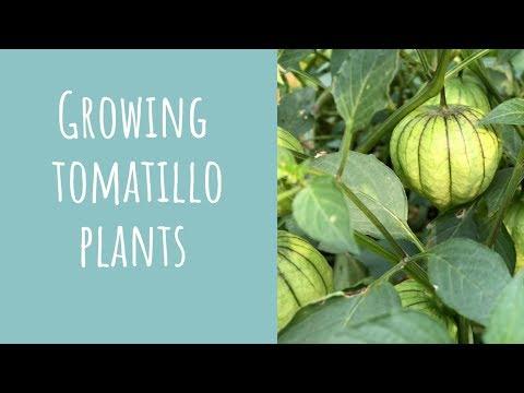 Growing tomatillo plants