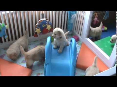 Buck x Kelsey puppies 4 weeks old and intro to small play area