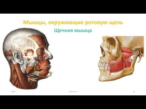 Мышцы головы: мимические,
