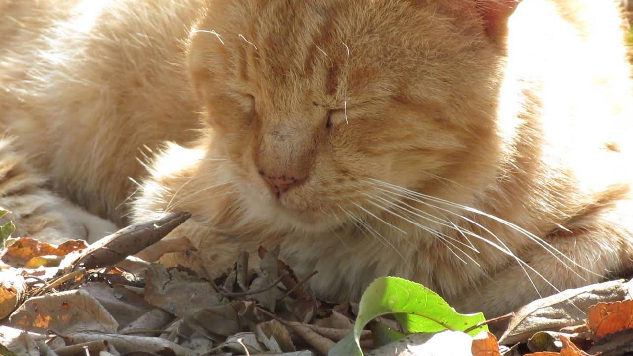 animale frumoase Tomita - pisica mea (galben cu alb)