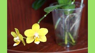 蘭花 - 水培蝴蝶蘭又開花了 | 養護教學 | Cutie Honey | 蘭花種植