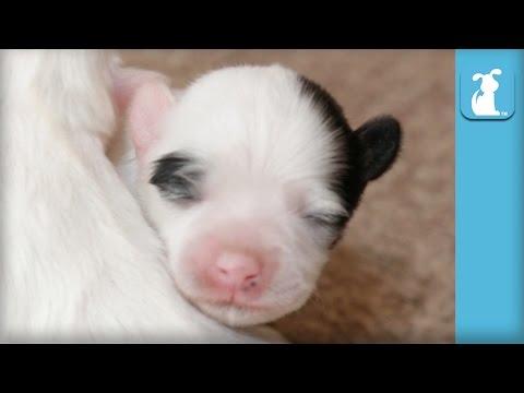 Teeny Tiny Havanese Puppies OMGAHHHH