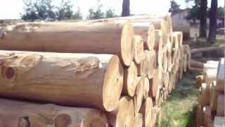 Beyrut Sediri, (Katarani), Beirut Cedar, Sedir yada diger adıyla ''Katran'' ağacı
