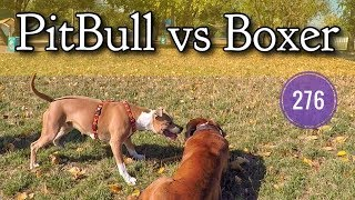 PitBull  vs Boxer.
