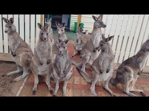 This Wildlife Shelter Takes Care Of Orphaned Kangaroos