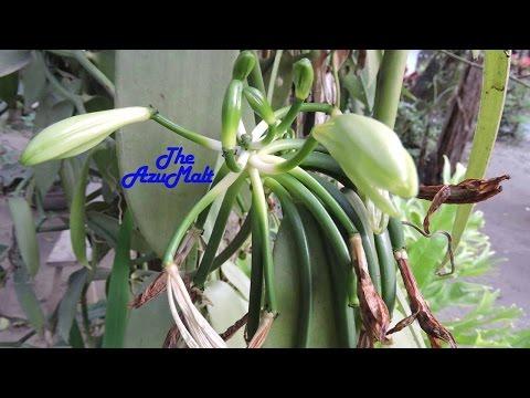 Vanilla Tahitensis Pohon Biji Vanili