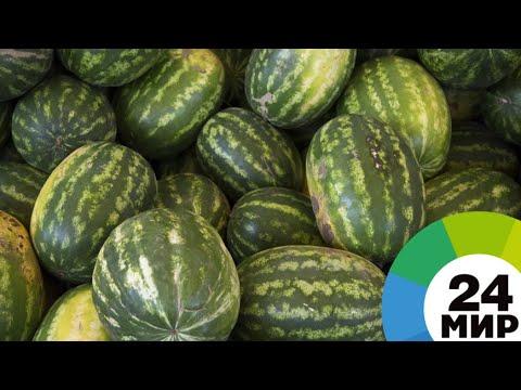 Смотреть Фермеры Армении удивились урожаю арбузов-гигантов онлайн