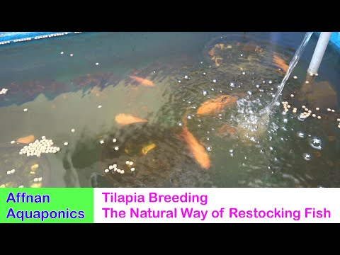 Tilapia Breeding - The Natural Way Of Restocking Fish