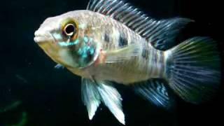 Аквариумные рыбки 3.0 - DVD(Аквариумные рыбки 3.0 - DVD - PC/Mac © hobbydisc.ru, 2008 Диск можно купить здесь: http://www.ozon.ru/context/detail/id/3952214/, 2008-10-24T17:07:45.000Z)