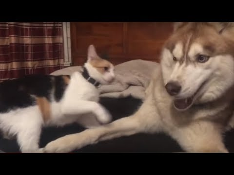Husky and cat share adorable playtime moment for camera