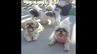 Shih Tzu Meet Up with so many adorable pups!