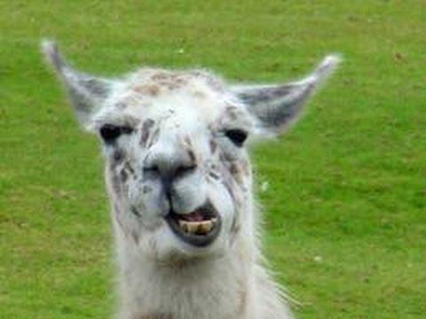 Llama Song Short Ajmv