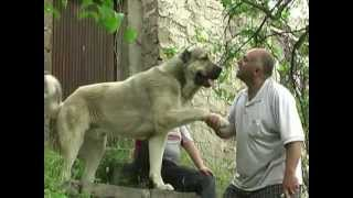 Berg (Gampr)-Wolfhound