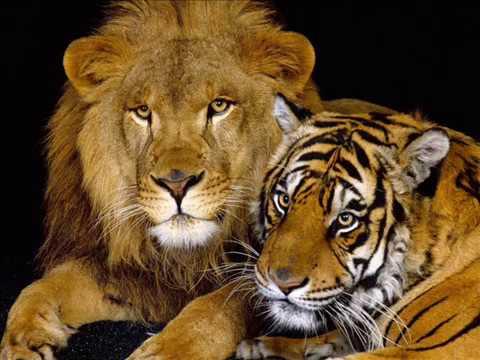 Tigres, leones, leopardos, Cheetas, Pumas he Hibridos