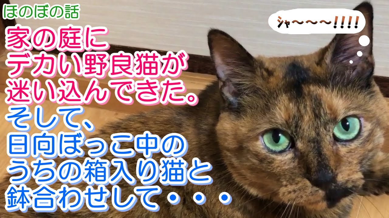 【猫のほのぼの話】家の庭にデカい野良猫が迷い込んできた。そして、日向ぼっこ中のうちの箱入り猫と鉢合わせして・・・