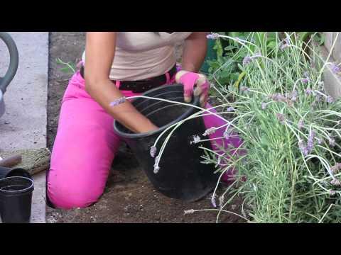 How to Fertilize Lavender : The Chef's Garden