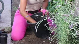 How to Fertilize Lavender : The Chef's Garden