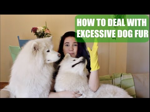 How to Deal with Excessive Dog Fur | Keeping Your Home Clean with a Samoyed