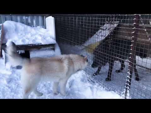 Аляскинский маламут против Волка