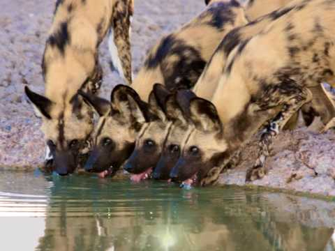 Top 10 Interesting Facts About African Wild Dog