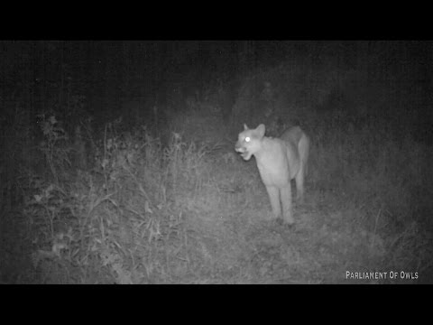 Mountain Lion screaming!!!