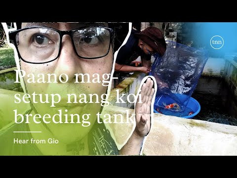 paano mag-setup ng koi breeding tank