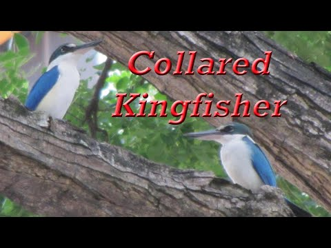 COLLARED KINGFISHER In Singapore