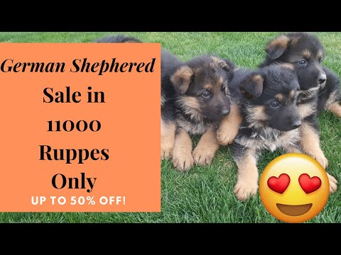 german-shepherd-puppies-in-low-price-|-gsd-puppy-price-in-india-2020|by-dogsbreedofficial