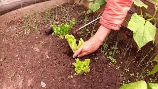 Салат - огородный лайфхак от Дины \\ В деревню!