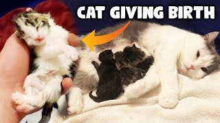 Cat Giving Birth To Giant Kittens   Maine Coon Cross British Shorthair Breed