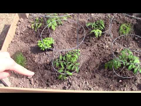 Companion Planting! Chemical Free Pest Control And Plant Created Fertilizer