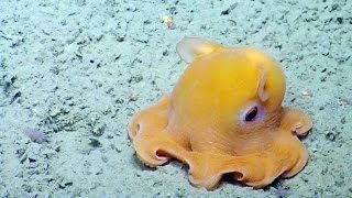 Shy Dumbo Octopus Hides Inside Its Own Tentacles | Nautilus Live