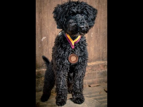 Bear - Schnoodle - 2 Weeks Residential Dog Training