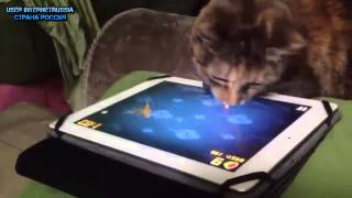 Коты играют с планшетом