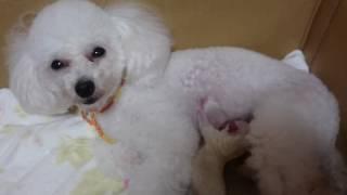 千葉県旭市にある愛犬の美容室ダンク 看板犬のさらちゃんが出産しました...
