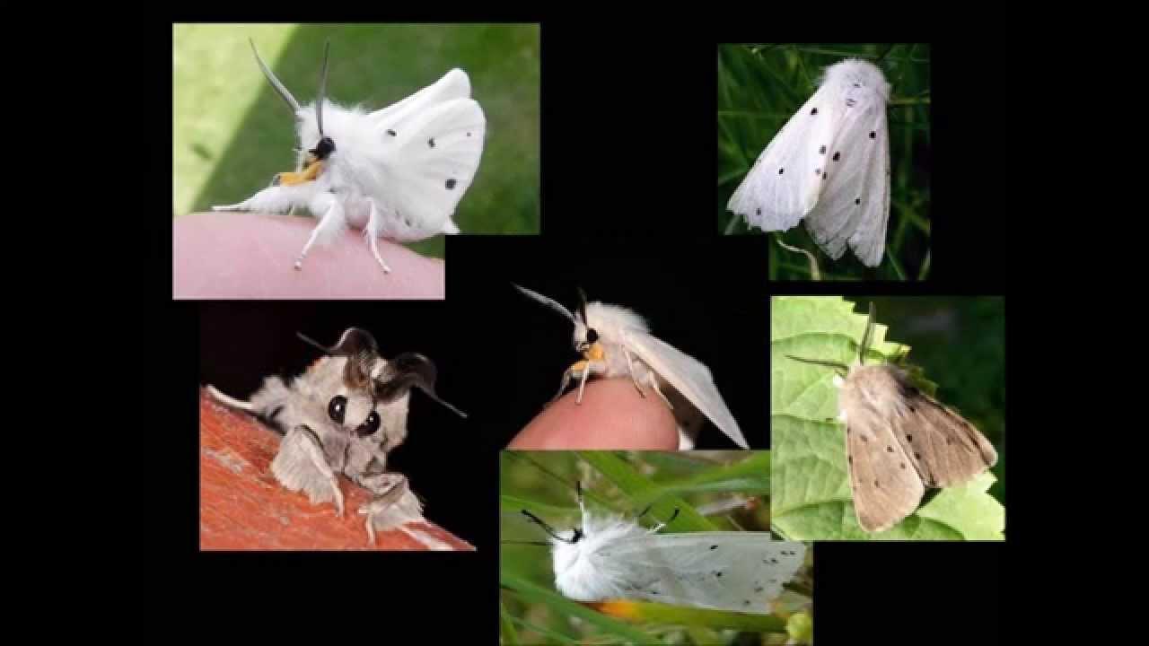Butterfly Dancers   Papillons   Papillon dog, Fabric …