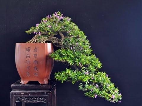 cây linh sam đẹp