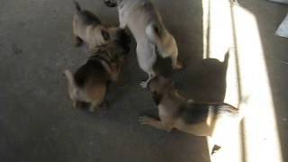 Fox Terrier - Pug Puppies For Sale