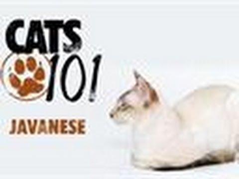 Javanese | Cats 101