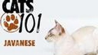 Javanese | Cats 101