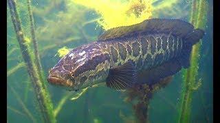Подводная охота на Балхаше. Змееголов и другие рыбы.snakehead