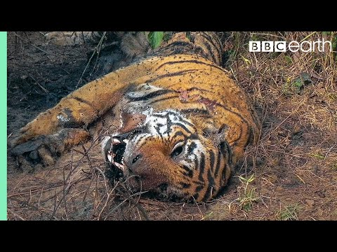 Tiger Grieves Dead Mate | BBC Earth Mp3