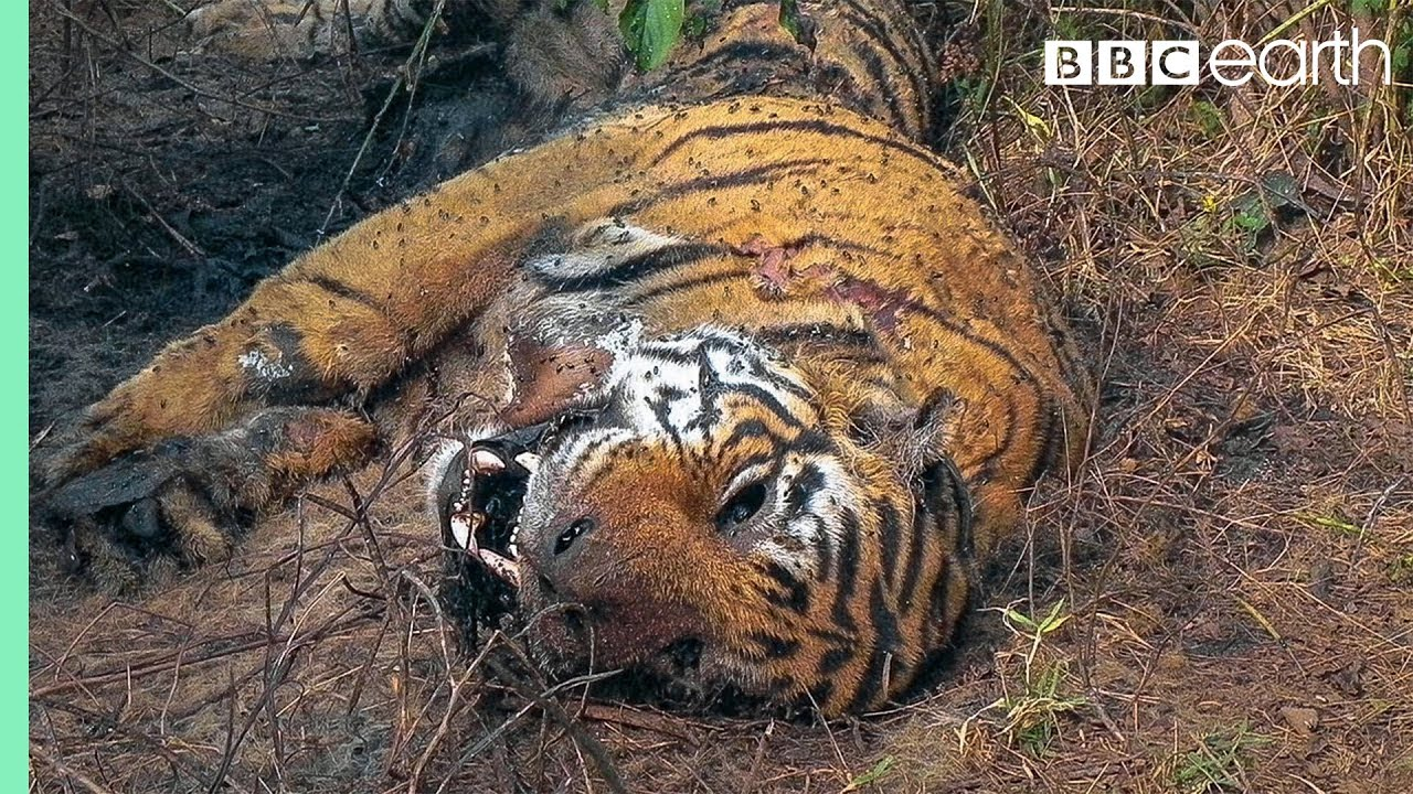 Tiger Grieves Dead Mate | BBC Earth