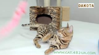 Дакота   самая красивая и самая умная в мире кошка бенгальской породы первая фотоссесися 3, в гостях