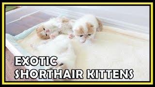 Exotic Shorthair Kittens Waving Hello at 3 Weeks Old CatVines