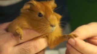 Морские свинки - уход во время беременности(В этом ролике вы узнаете, как нужно ухаживать за морской свинкой во время беременности. Чем нужно её обеспеч..., 2015-07-24T09:24:42.000Z)