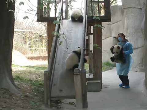 成都大熊猫基地三只小熊猫打架视频——史无前例 超级可爱~~