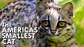 Tiger Cat: The Small Cat That Thinks It's A Big Cat