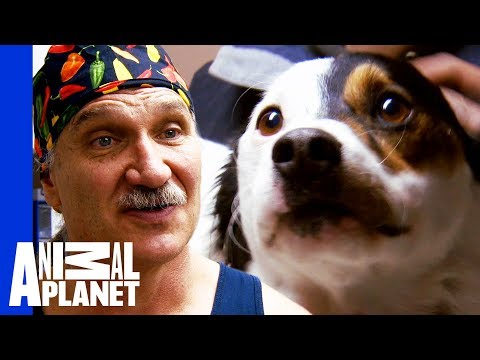 Dr. Jeff Needs To Amputate Dogs Leg To Save His Life | Dr. Jeff: Rocky Mountain Vet